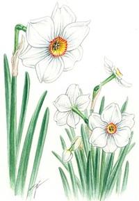 クチベニズイセン(口紅水仙) ヒガンバナ科 ナルキッソスの赤い唇 レッツ!植物楽