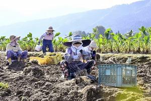 特産サトイモ、上庄地区で…