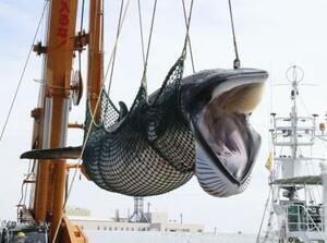 北海道釧路港で水揚げされるミンククジラ=2019年9月
