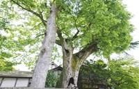 青木氏庭園のケヤキとクスノキ 市天然記念物に指定 市教委