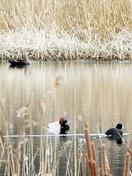 ラムサール条約の中池見に野鳥続々