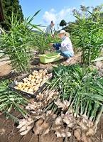 収穫のピークを迎えている「越前しょうが」=9月24日、福井県福井市城戸ノ内町