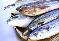 シイラやエソ…未利用魚を無駄なくおいしい商品に 福井県高浜町「UMIKARA」で販売目指す