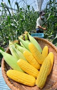 永平寺町スイートコーン収穫始まる