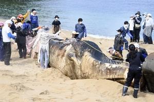 漂着の死骸は福井県内初ナガスクジラ