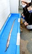 リュウグウノツカイより希少な深海魚