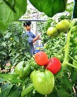 ビニールハウス内で収穫期を迎えた「越前とまと」=福井市大瀬町