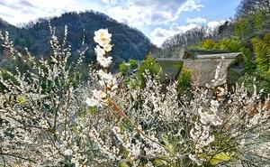古民家を背景に咲き誇る白梅=2月28日、福井県福井市のおさごえ民家園