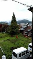 クマ2頭が登っている杉の木(中央)=10月27日午後1時ごろ、福井県勝山市芳野町1丁目