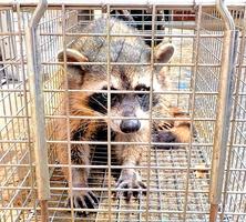 昨年7月に福井市朝宮町で捕獲されたアライグマ(市提供)