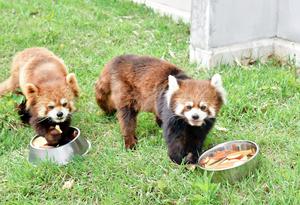 食事中、愛らしい表情を見せるまつば(右)とモッチー=4月23日、福井県鯖江市西山動物園