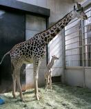 キリンの赤ちゃんが誕生、大阪