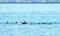 台風一過の若狭、イルカの群れ回遊