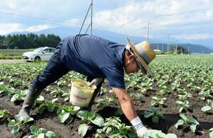 キャベツの苗の世話をする農家の男性=8日午後、群馬県嬬恋村