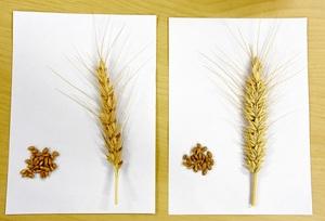 開発したハイブリッド小麦(右)。標準的な小麦(左)に比べ、1穂当たりの着粒数が多いことが分かる