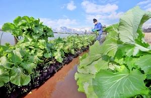 好天の下、収穫される勝山水菜=2月5日、福井県勝山市