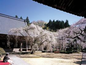 300年以上の歴史を持つ寺。境内のシダレ桜も見事