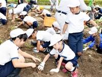 児童らサツマイモ収穫