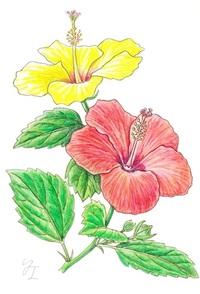 【レッツ!植物楽】 ハイビスカス アオイ科 常夏の島を彩る銘花