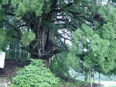 樹齢500年、幹回り8.5メートルの神木