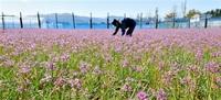 秋晴れ彩る赤紫 坂井、福井の三里浜 ラッキョウの花咲く