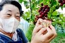 変わり種のブドウ、粒がハート形