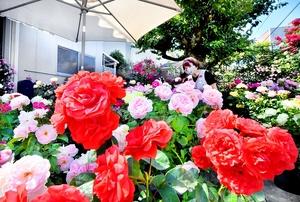 バラの花が鮮やかに咲き誇るオープンガーデン=6月2日、福井県福井市