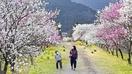 山あい「桃源郷」ハナモモ咲き乱れ