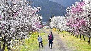 満開を迎えた150本超のハナモモ=4月15日、福井県大野市西勝原