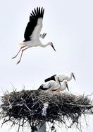 コウノトリひな、巣立ちもうすぐ