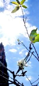 秋なのにサクラ咲く 全国相次ぎ、福井でも