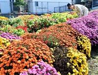 菊の花壇 華やか 啓蒙公民館前で見頃