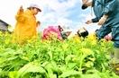 伝統野菜「菜おけ」、春の味わい