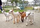 ヤギの赤ちゃん5匹すくすく成長