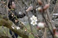 梅が1カ月早く開花、暖冬で不作恐れ