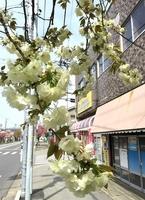 かつて1本だけ薄緑色の花を咲かせていた桜=福井県福井市花月5丁目、2015年4月(読者提供)