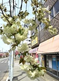 1本だけ緑の花咲く桜、 いとおしんだ地元住民に残る謎 福井市さくら通り