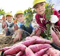 サツマイモ 大きいでしょ 福井で園児収穫体験