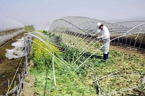 雪の重みでつぶれ、撤去作業が始まったハウス。収穫できなかった野菜は残されたままだ=4月10日、福井県福井市の中橋農園