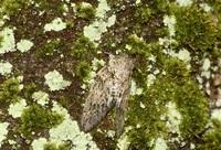 ニイニイゼミ 体、桜の樹皮にそっくり 足羽三山生きもの王国(47)