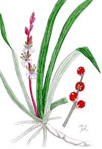 レッツ!植物楽 キチジョウソウ(吉祥草) キジカクシ科(旧ユリ科) 紅白で縁起良い植物