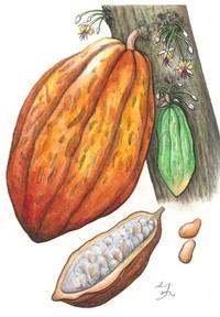 【レッツ!植物楽】 カカオ アオイ科(旧アオギリ科) 幹につく大きな実