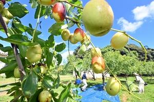 鮮やかな青空の下、収穫がピークを迎えているナツメ=9月6日、福井県福井市小幡町