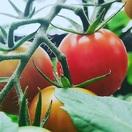 お祭りで活躍、家庭菜園トマト