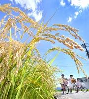 強い日差しの中、色付き始めた稲穂=8月7日、福井県福井市下東郷町