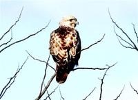 ノスリ 小動物から農地守る 三方五湖野鳥辞典