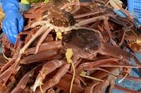 ズワイガニ、漁期途中に配分減る
