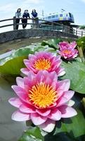 水面でかれんな花を咲かせるスイレン=福井県坂井市坂井町下兵庫の淵龍の池