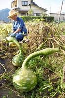 鹿谷地区の特産化にしようと栽培が進んでいる「鹿谷恐竜ひょうたん」。蔓が恐竜の首のように見える=福井県勝山市