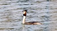 カンムリカイツブリ 頭部に鮮やか飾り羽 三方五湖野鳥辞典